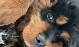 Russian Toy Terrier Bothers Tibetan Mastiff