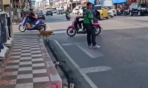 Good Samaritan Helps Dog Cross Busy Road
