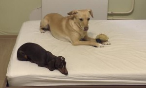 Dachshund puppy pretends to sleep, then steals best friend's toy