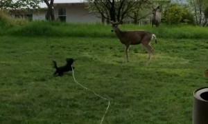 Deer Taunting Puppy