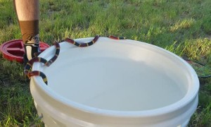 Coral Snake Balances on Bucket's Edge