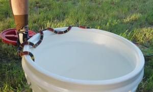 Coral Snake Balances on Bucket's Edge
