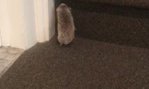 Stairs to High for Hedgehog