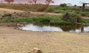 Watch this Gazelle incredibly outmaneuver a charging Lion