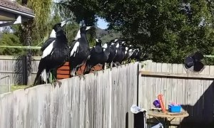 Australian Magpie Choir in the Backyard