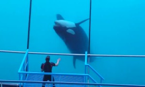 Talented Orca Puts on Performance