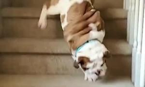 Eager Bulldog Takes a Tumble