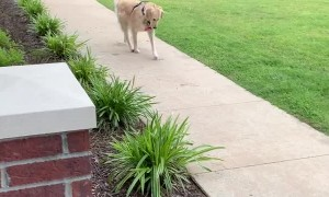 Golden Retriever Takes Herself for A Walk