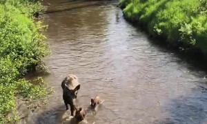 Momma Moose and Babies Enjoying the River