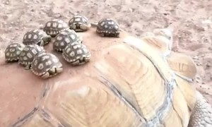 Baby turtles go for a ride on their mother's back
