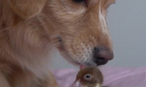 Dog Gets to Know Duckling