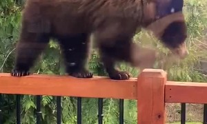 Young Bear Pays Porch a Visit