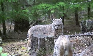 Pet Bobcat Bops Wild Bobcat Who Wanders Too Close