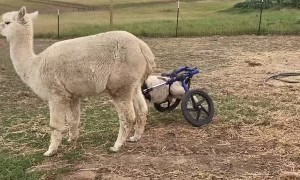 Lamb Who Lost the Use of His Back Legs Gets Shiny New Wheels