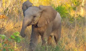 Baby elephant tries its best to show off its