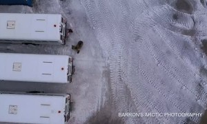 Alaskan Grizzly Bear Roaming with Cubs