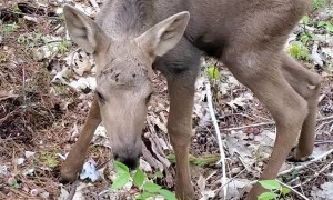 Baby Moose Mistakes Man for Its Mom