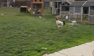 Chickens Come Running for Breakfast