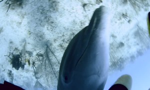 Aggressive Dolphin Trying to Court Diver