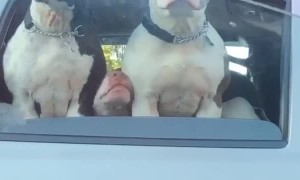 Unexpected Amount of Dogs at Traffic Stop