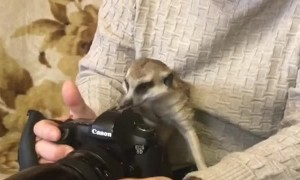 Rescued Meerkat Curiously Investigates Camera