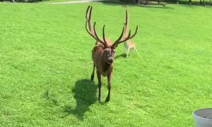 Huge Friendly Elk Trades Pets for Snacks