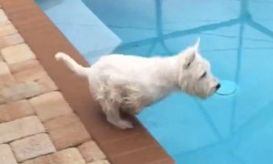 Westie dog shows off Olympic-caliber diving skills