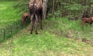 Newborn Moose Needs Mama after Attempting to Clear Fence