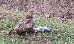 Massive Hawk Finds Lunch
