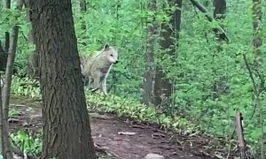 Man and Dog Meet a Wolf While out for a Walk