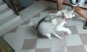 Lively Husky Loves to Dance