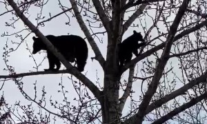 Black Bears Enjoy Family Time in the Treetops
