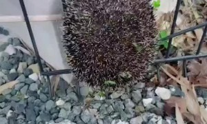 Fence Cut to Rescue Stuck Hedgehog