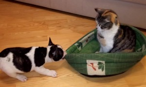 Puppy's never-ending battle for bed against rival cat