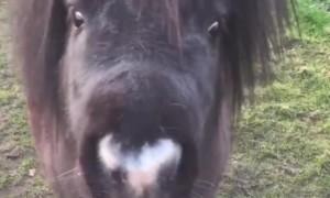Shetland Pony Enjoys a Tasty Brew