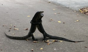 Monitor Lizards Didn't Get the Social Distancing Memo