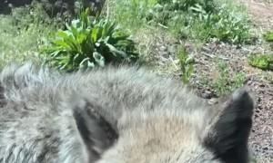 Excitement Levels Peak over Wolf