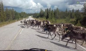 Massive herd of reindeer casually block the road