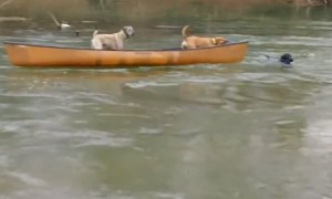 Labrador turns into lifeguard and rescues dogs trapped in canoe
