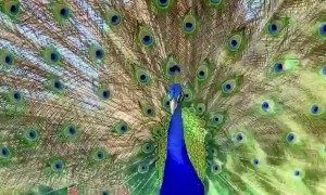 Peacock Dancing with Full Feather Display