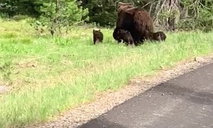 A Grizzly with Four Cubs Cross the Road