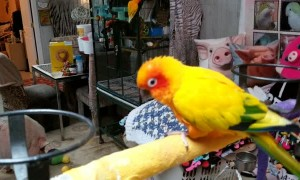 Angel The Parrot Dancing With Sammy The Hammy The Smiling Pig As Her Backup Dancer
