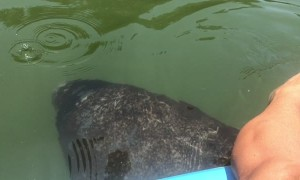 Manatee Happily Greets Guide on Morning Tour