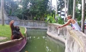 Orangutan cleverly makes fair trade with human