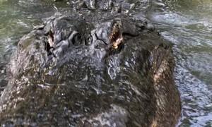 Hunter The American Alligator Says Good Morning
