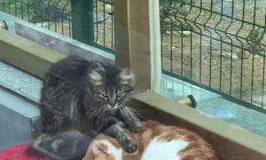 Cute Cat Buddies Enjoy Massage Time