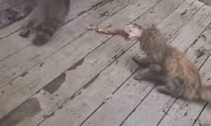 Raccoon Nabs Yummy Leftovers from Cat