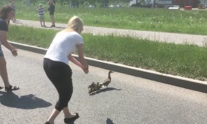 People Stop Highway Traffic to Help Duck Family Cross the Road