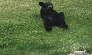 Family of Bears Lounge around in Backyard