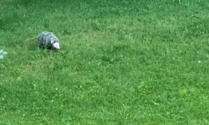 Momma Opossum Transports Babies Across Yard